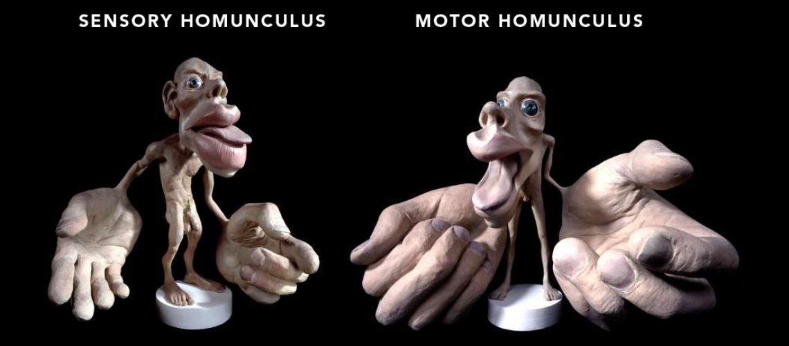 Sensorimotor Homunculus